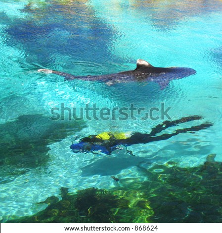 Tiger Shark and Diver in shallow water - stock photo
