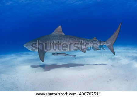 Tiger shark close to the ground in clear blue water with shadow on the sand. - stock photo