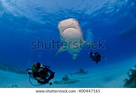 Tiger shark from below in clear blue water with scuba diver / photographer and the sun in the background. - stock photo