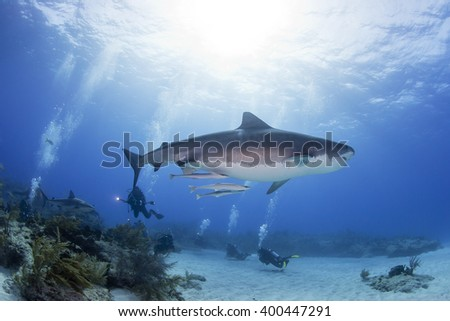 Tiger shark from the side in clear blue water with a caribbean reef shark, scuba divers and the sun in the background. - stock photo