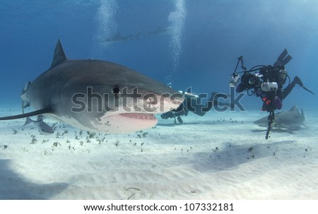 Tiger shark (Galeocerdo cuvier) with diver - stock photo