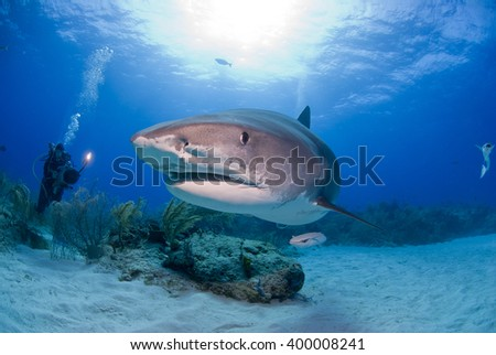 Tiger shark head shot in clear blue water with scuba diver / videographer / photographer and the sun in the background. - stock photo