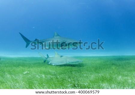 Tiger shark over sea grass at Fish Tales / Bahamas  - stock photo