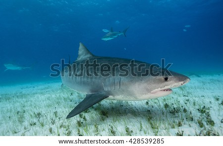 Tiger shark swimming along the bottom in shallow water during a shark dive in the Bahamas.