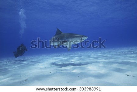 TIGER SHARK SWIMMING IN THE BAHAMAS WATER FILMING BY UNDERWATER CAMERAMAN