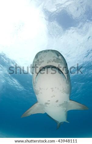 Tiger Shark swims by at Tiger Beach in the Bahamas. - stock photo