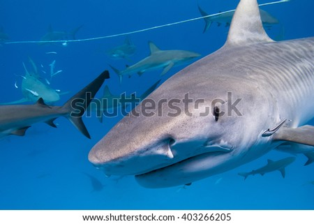 Tiger shark with lots of caribbean reef sharks close to the surface. - stock photo