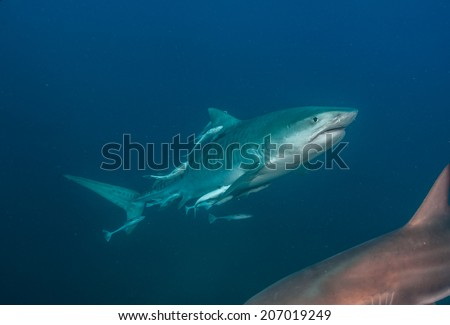 Tiger shark with remora - stock photo