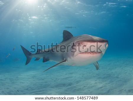 Tiger Sharks in the Bahamas - stock photo