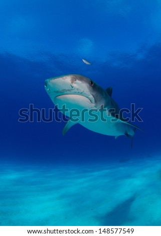 Tiger Sharks in the Bahamas