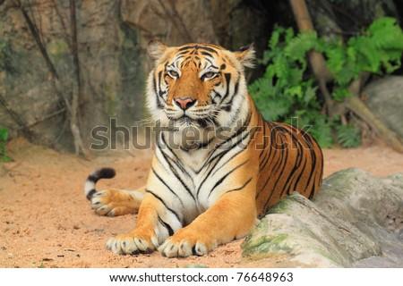 Tiger sitting. - stock photo