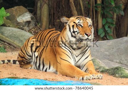Tiger sitting - stock photo