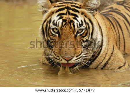 Tiger sitting and drinking water in a water hole in Ranthambhore - stock photo