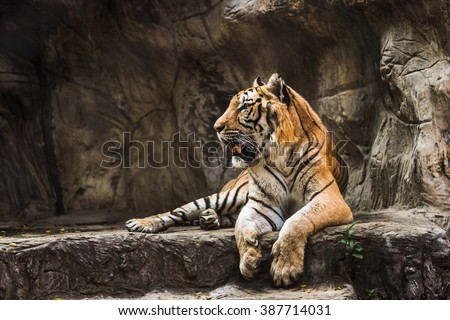 tiger sitting in a zoo. - stock photo