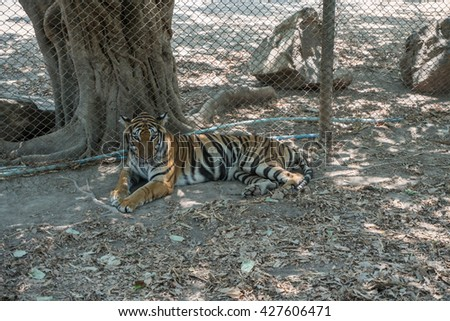 tiger sitting in a zoo - stock photo
