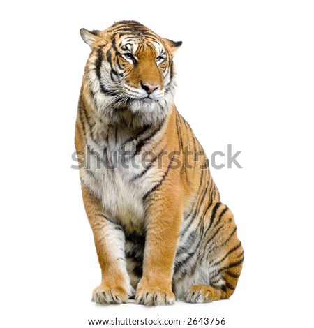 Tiger sitting in front of a white background. All my pictures are taken in a photo studio