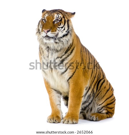 Tiger sitting in front of a white background. All my pictures are taken in a photo studio - stock photo