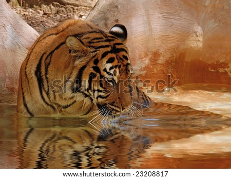 Tiger sitting in pool of water and getting a drink - stock photo