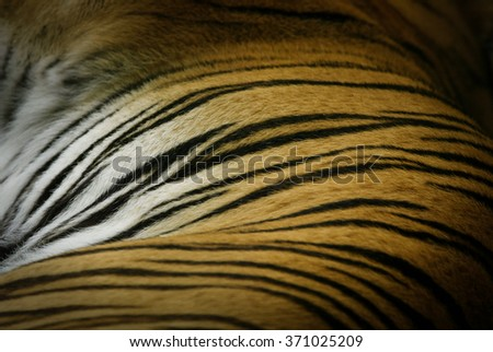 Tiger skin photograph showing its  stripes . - stock photo