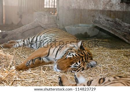 Tiger sleeping - stock photo