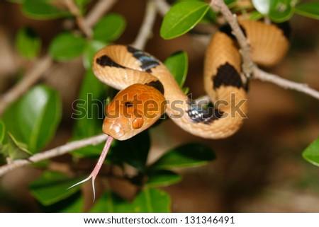 Tiger Snake - stock photo