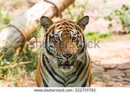 Tiger, soft focus - stock photo