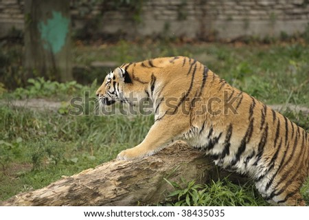 Tiger stalking his prey from a log - stock photo