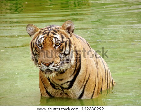 Tiger standing in a water. The picture was taken in the Tiger Temple, Thailand - stock photo