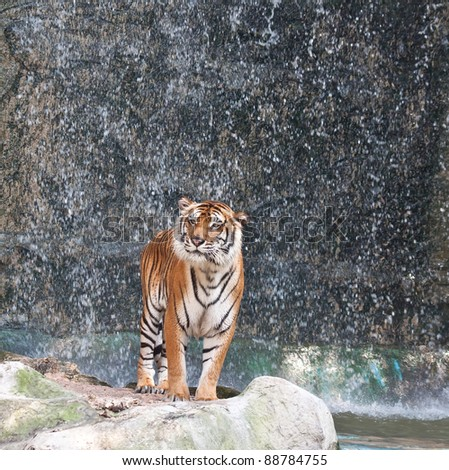 Tiger standing on the rock near the waterfall