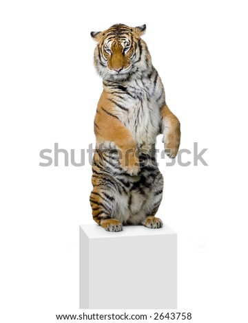 Tiger standing up lying down in front of a white background. All my pictures are taken in a photo studio - stock photo