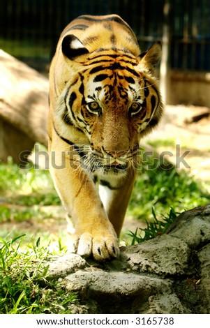 Tiger staring into camera. Panthera Tigris. - stock photo