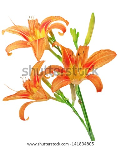 Tiger(striped) lilies on white background. Isolated. - stock photo