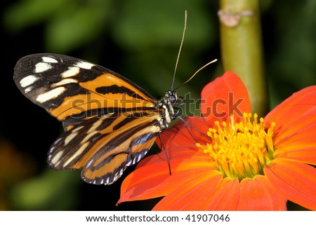 tiger-striped longwing, heliconius ismenius