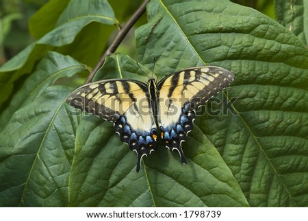 Tiger Swallowtail butterfly on leaf - stock photo