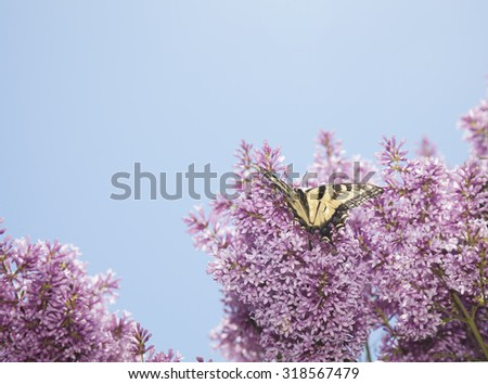 tiger swallowtail butterfly papilio glaucas on purple lillac tree - stock photo