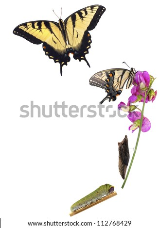 Tiger Swallowtail metamorphosis. Life cycle of the Eastern Tiger Swallowtail butterfly (Papilio glaucus) from North America showing stages in the development of the butterfly. - stock photo