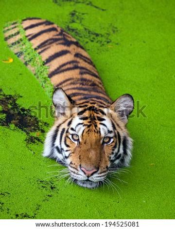 Tiger Swimming - stock photo