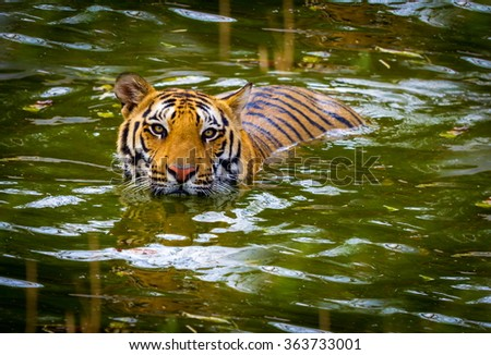 Tiger swimming in a national park in India. These national treasures are now being protected, but due to urban growth they will never be able to roam India as they used to.