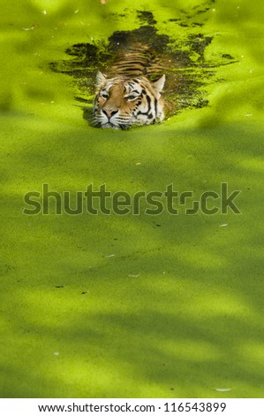 Tiger swimming in a pond covered with green plants - stock photo