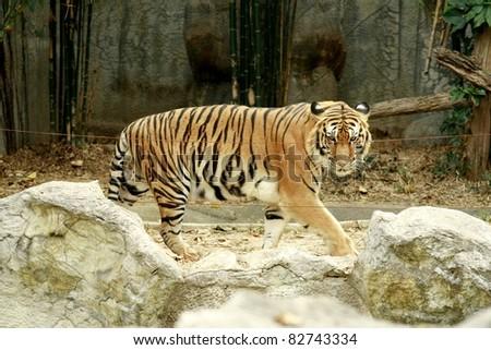 Tiger, Thailand - stock photo