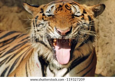 Tiger thirsty - stock photo
