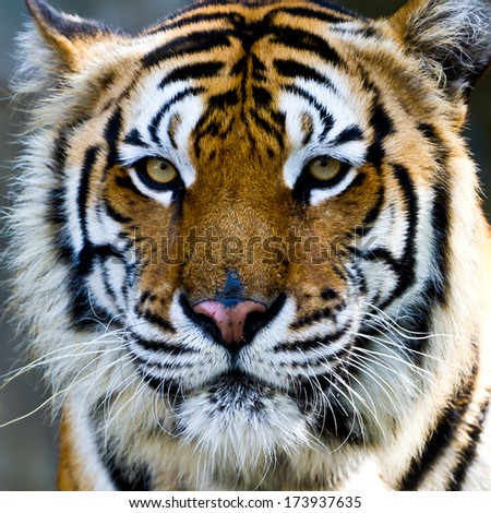 Tiger,Tiger Face. - stock photo