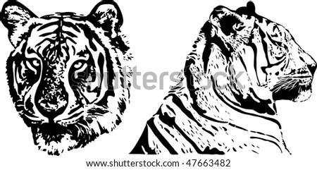 tiger - vector draw - stock photo