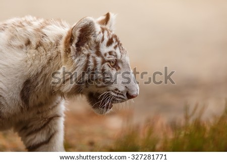 tiger very close up - stock photo
