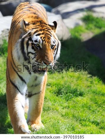 Tiger walking along the green grass - stock photo