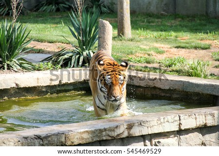 Tiger walking around the pond in the park