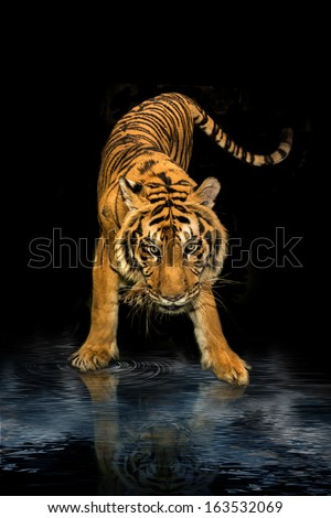tiger walking black background - stock photo