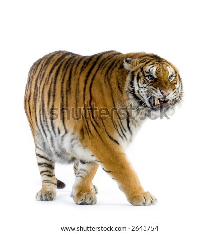 Tiger walking in front of a white background. All my pictures are taken in a photo studio - stock photo