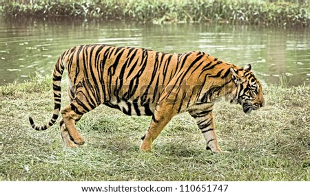 tiger walking in nature