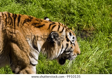 Tiger walking in the grass